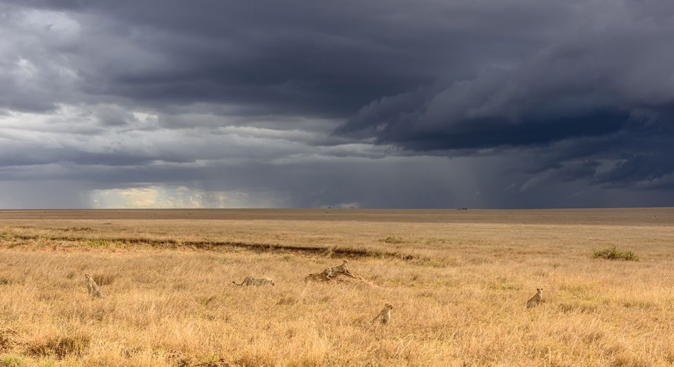 Cheetahs on a plain under stormy clouds