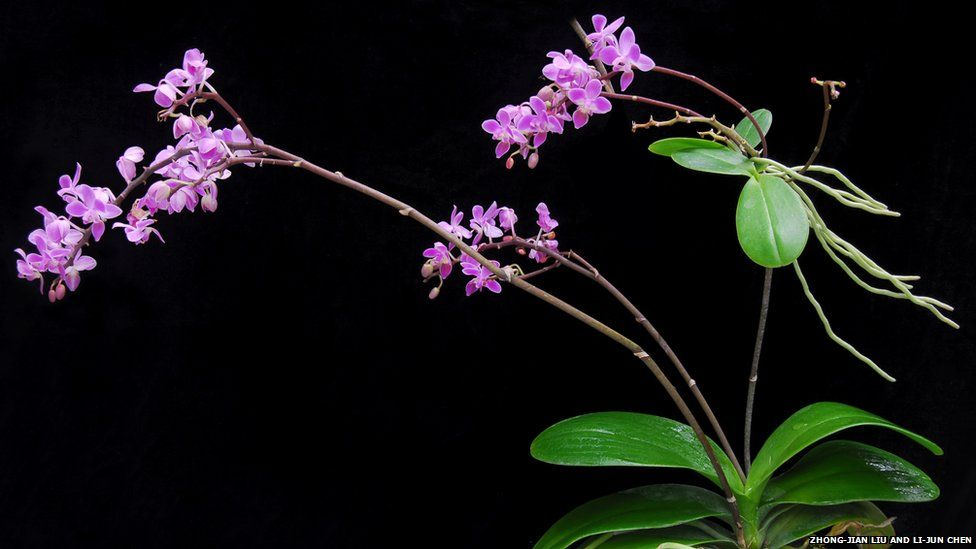 A flowering plant of Phalaenopsis equestris of the subfamily Epidendroideae