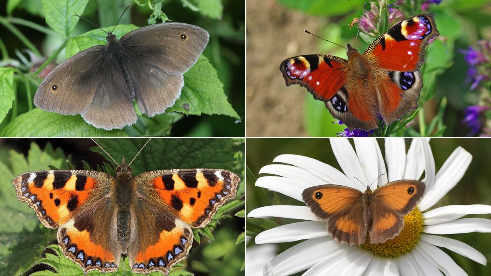 Clockwise (from top left) The Meadow Brown, Peacock, Gatekeeper and Small Tortoiseshell