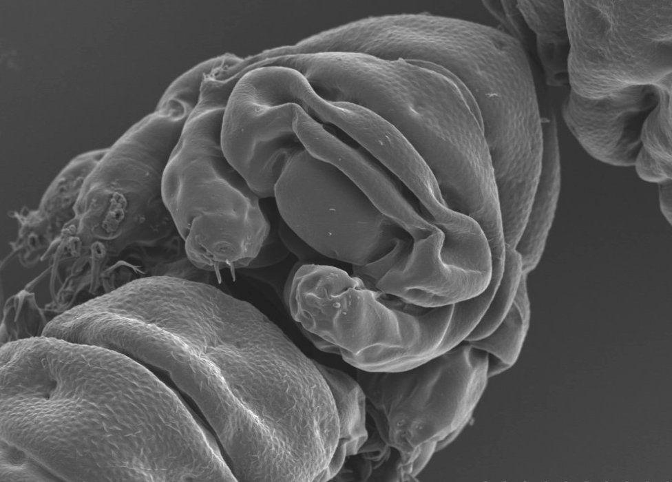 Facial view of the tardigrade, Ramazzottius varieornatus (c) Tanaka S Sagara H Kunieda