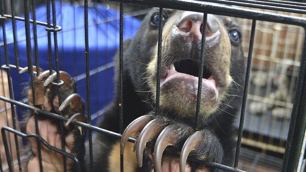 Rescued sun bear in Indonesia