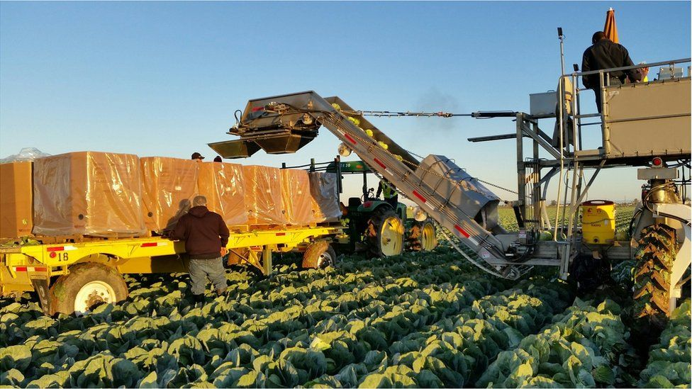 Cabbages being harvested