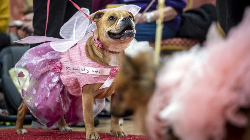 Dog in pink gown and wearing a pink sash