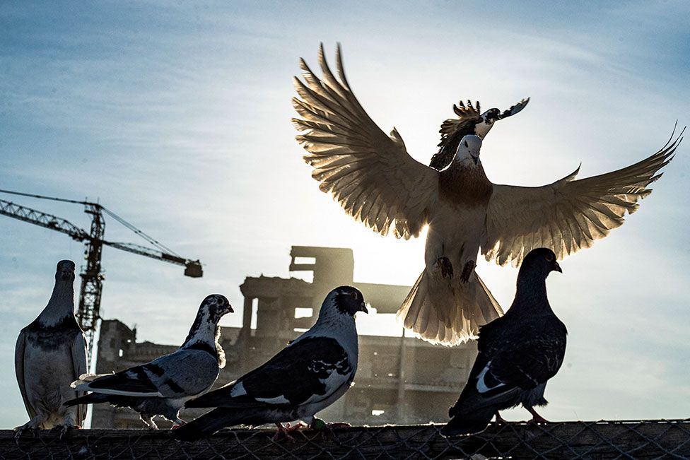 Pigeons are seen against a landscape of war-torn buildings