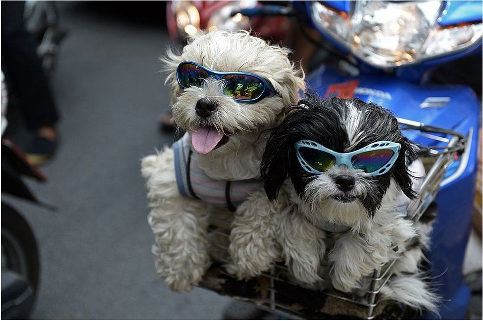 Pet dogs with sunglasses sit in the front basket of a motorcycle as people commute on a main road in Bangkok on 3 June 2014