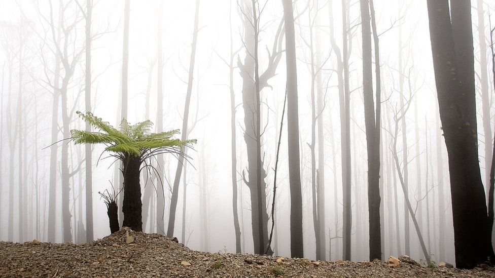 A fern grows in a bushfire-ravaged region, in an image taken two years after Black Saturday