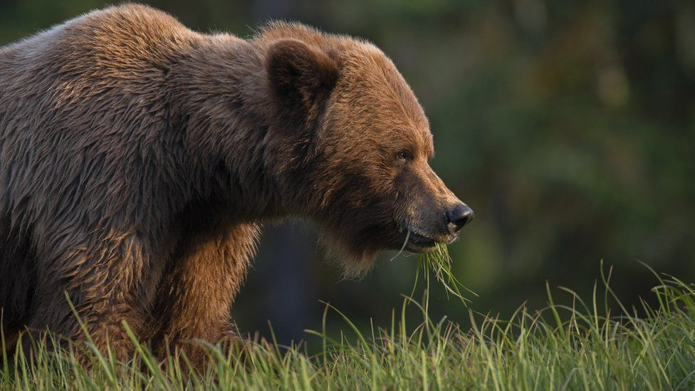 A grizzly bear eating grass in British Columbia