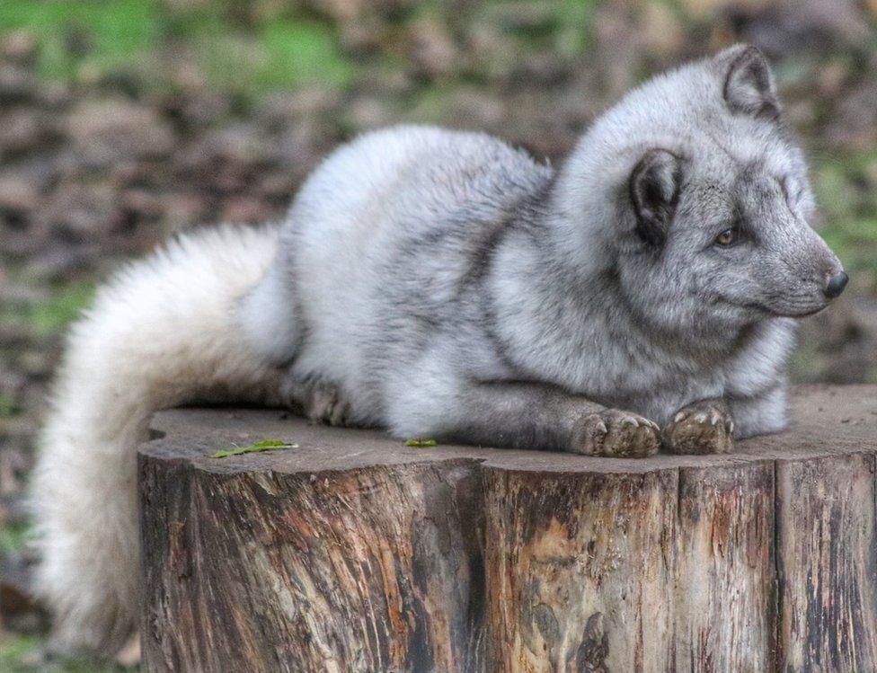 An arctic fox sitting on wood
