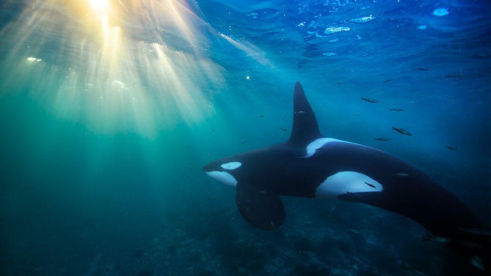 Orcas: el asesino silencioso que está acabando con ellas en varios mares del mundo