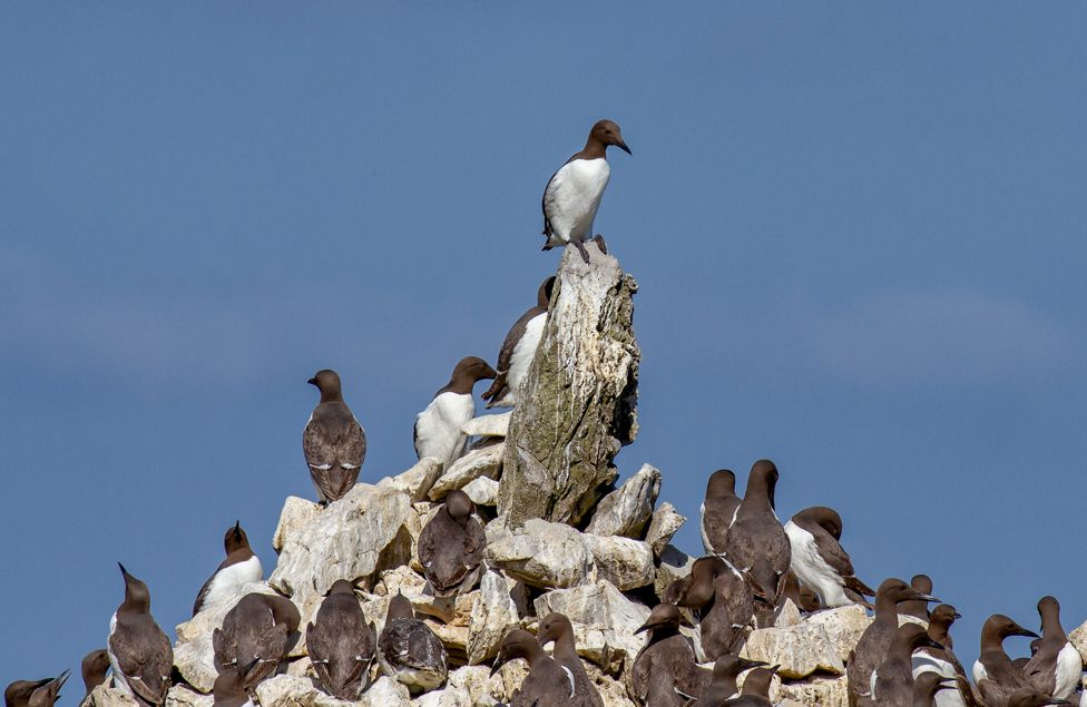 Guillemot colony perched at Elegug Stacks in Pembrokeshire