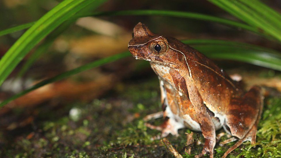 Jingdong horned frog adult