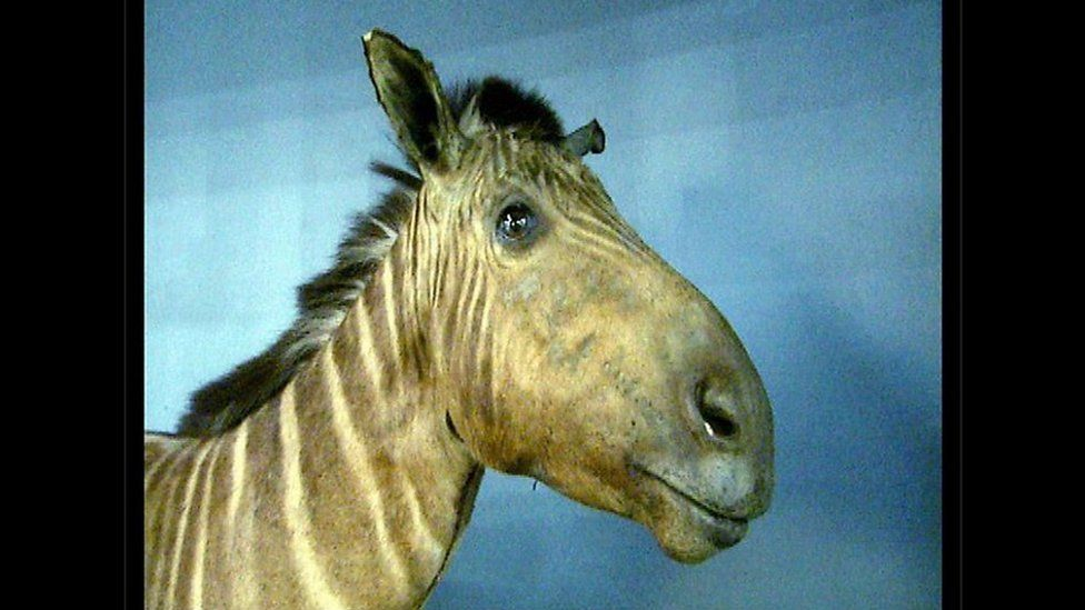 Квагга Амстердам умерла в зоопарке в Амстердаме в 1883 году