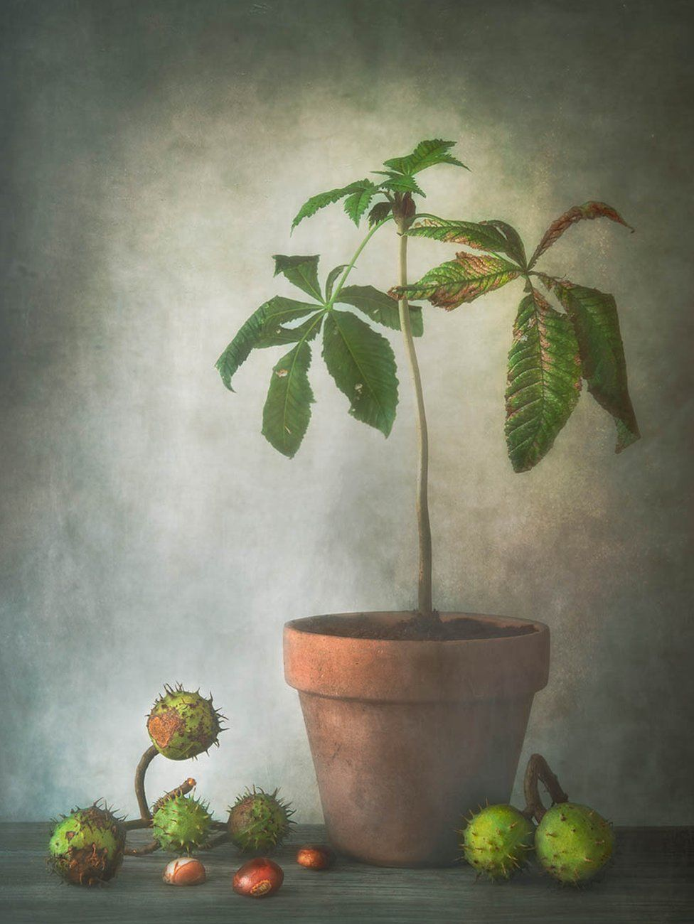 A horse chestnut plant in a pot with conkers strewn on a table