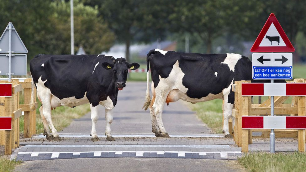 Cows get priority at this crossing in the town of Voorst