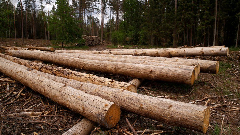 Logs in Bialowieza Forest - file pic