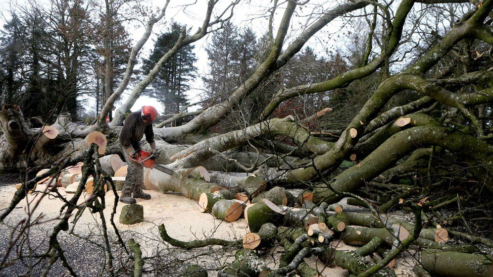 A forester uses a chainsaw to cut the trunk of one of the beech trees into smaller blocks