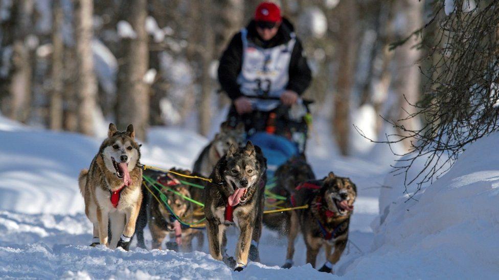 Dogs race in the 2021 Iditarod in Alaska