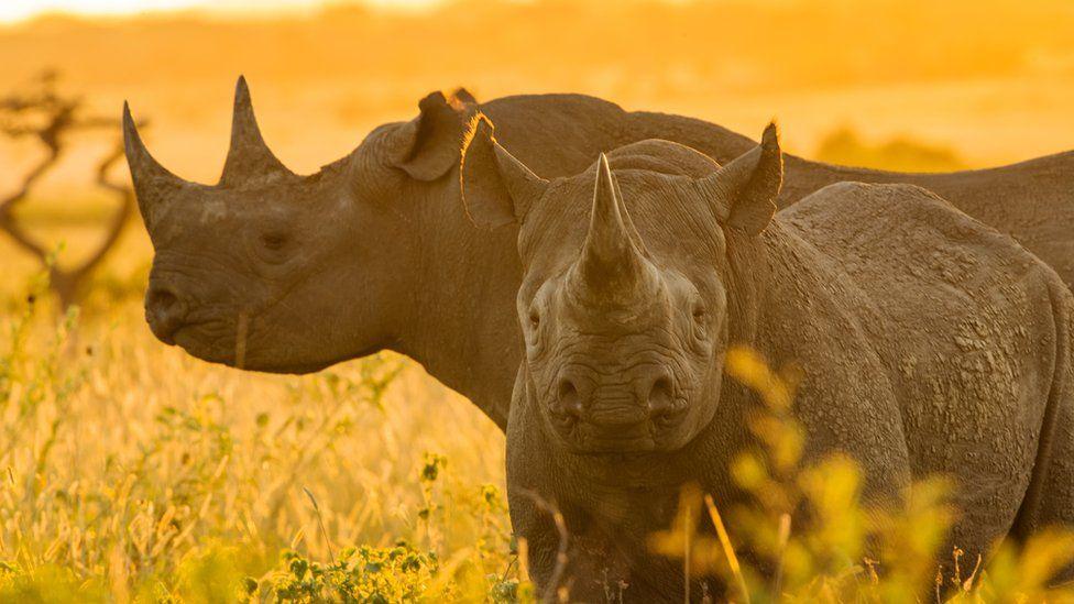 Two Zululand black rhinos