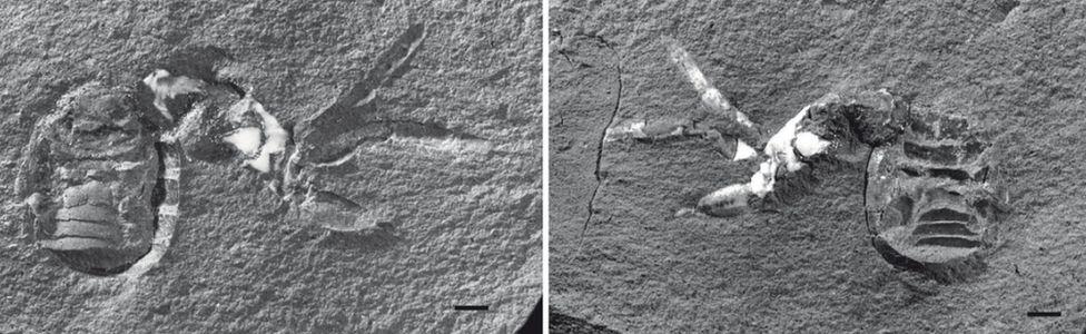 arachnid fossils
