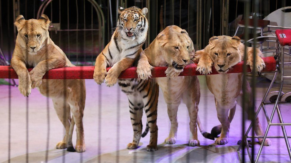 Three lions and a tiger from the Vladivostok State Circus lean on the barrier of a circus ring