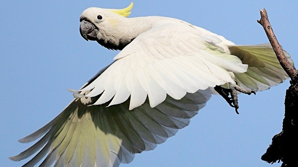Yellow crested cockatoo (Image: Peter and Michelle Wong)
