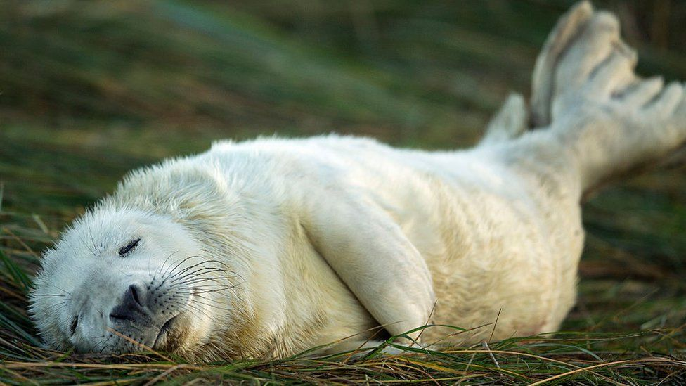 A sleeping seal pup in Grimsby