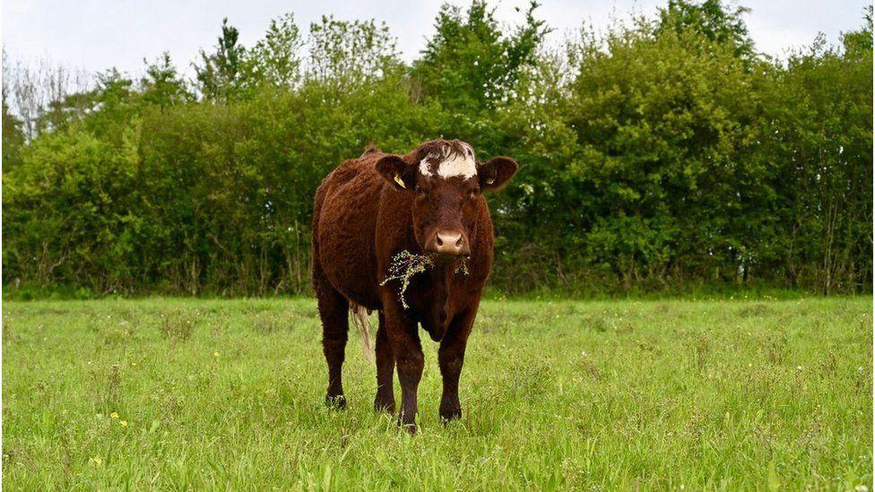 munching cow