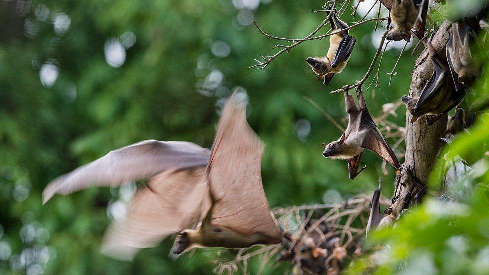 Bats migrating in Zambia