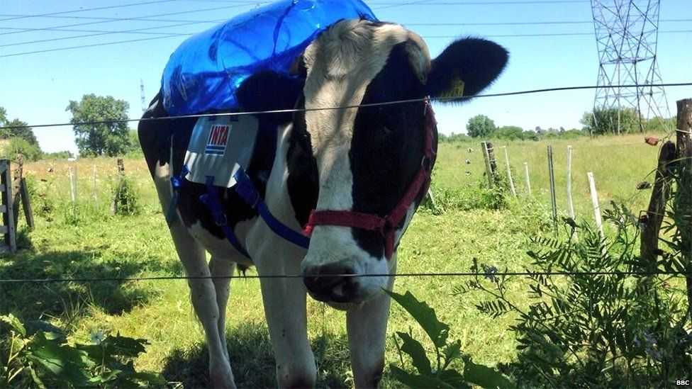 A cow with a methane extractor