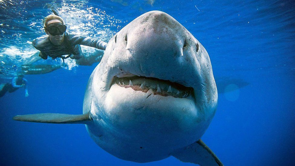 Divers swim with one of biggest great white sharks off