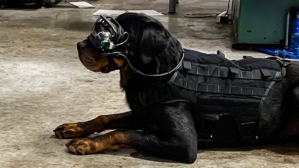 The Rottweiler dog sits, showing how the head-mounted goggles are cabled to its body vest