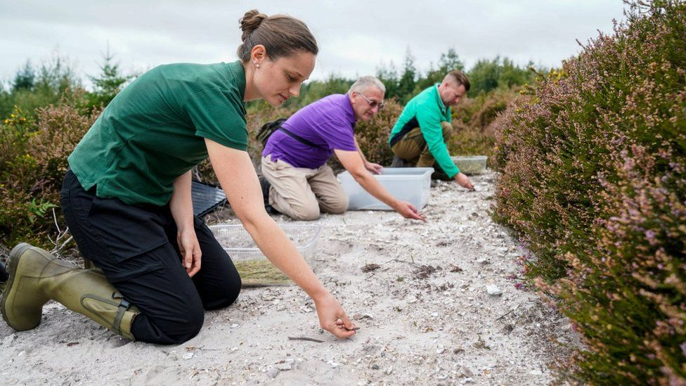 Sand lizards being released at Puddletown Forest