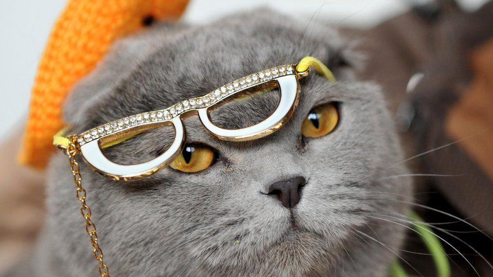 Wearing a hat and glasses a Scottish Fold cat looks on during a cat exhibition in Bishkek on March 23, 2013