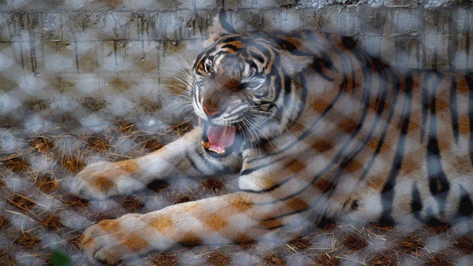 A tiger is seen in an enclosure at the Wat Pha Luang Ta Bua Tiger Temple in Kanchanaburi province