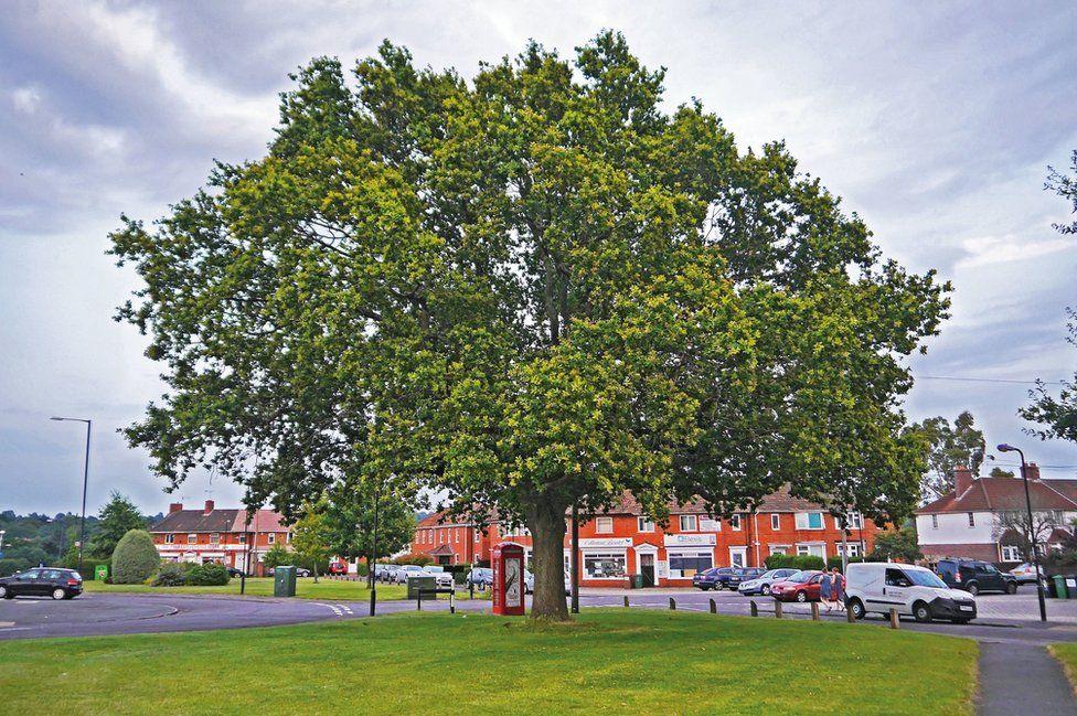 Addison's oak