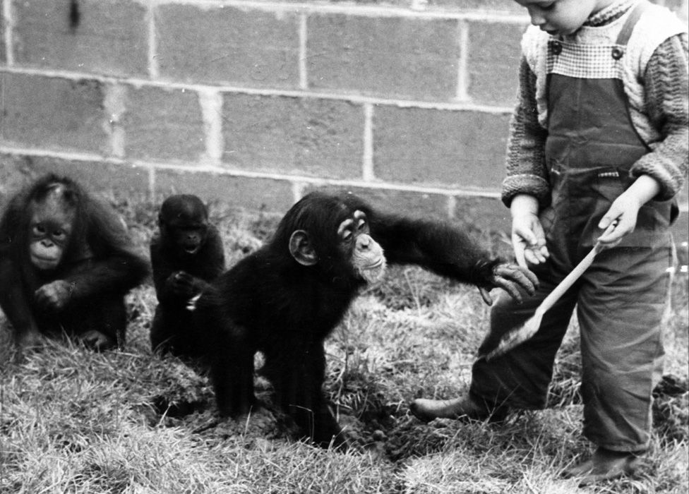 A child plays with Mary, a baby chimpanzee, a baby orangutan and a woolly monkey at Chester Zoo in May 1960