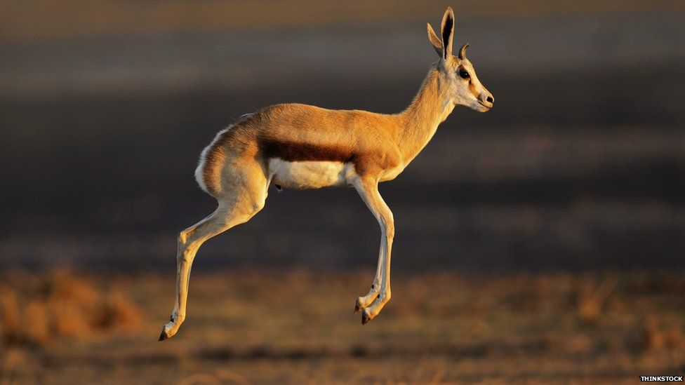 Gazelle leaping