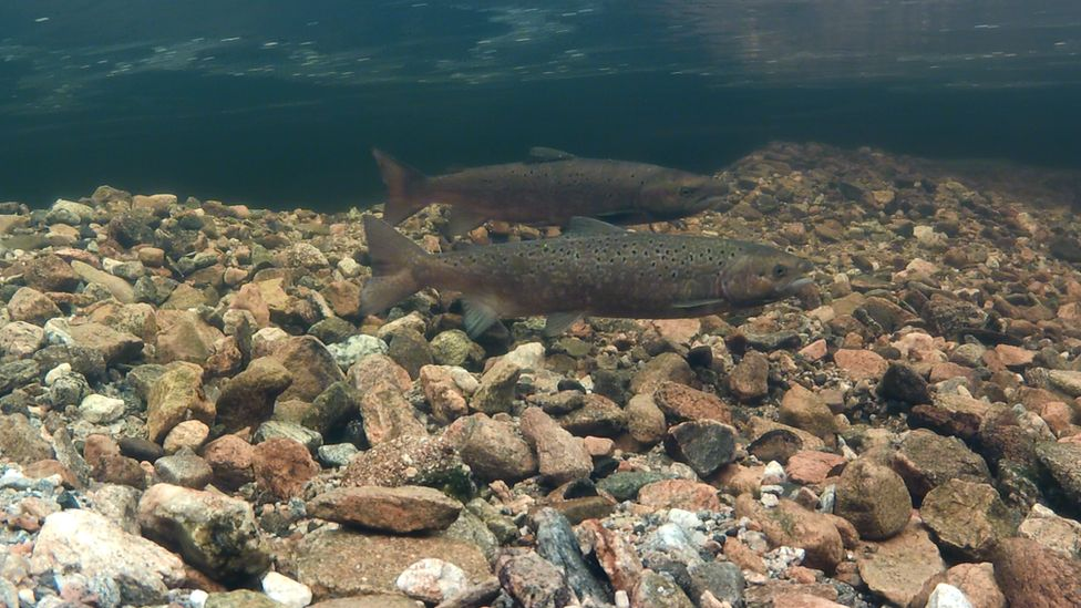 Mr Linley Adams is concerned about the effect of fish farms on wild salmon