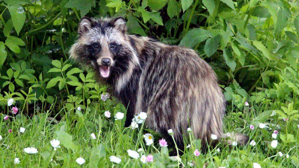 A raccoon dog in a garden
