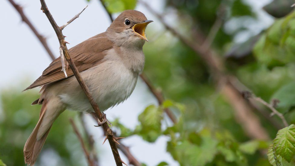 A nightingale on a tree branch