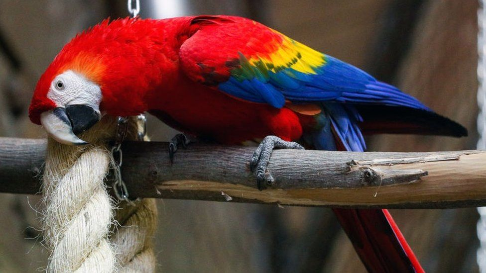 A scarlet macaw at the House of tropical birds at the Kaliningrad Zoo.