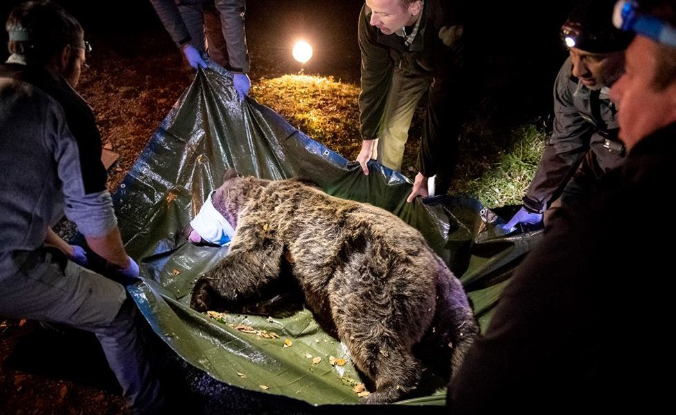 Sorita - one of two brown bears released, Oct 2018