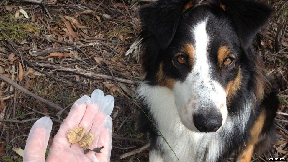 A sniffer dog and some animal scat, Blue Mountains, Australia