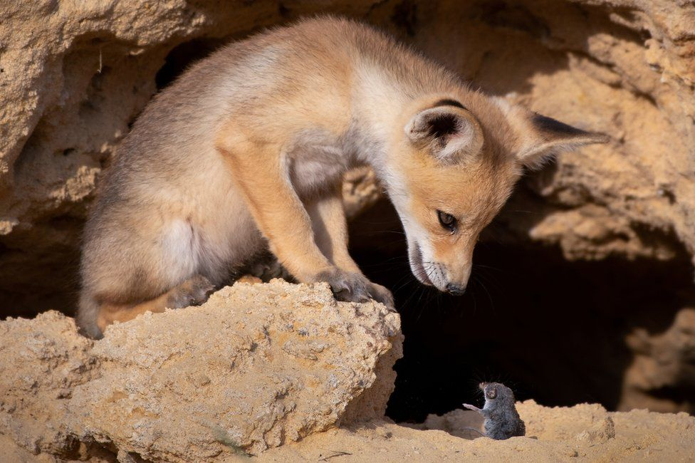 A young fox looking down at a rodent