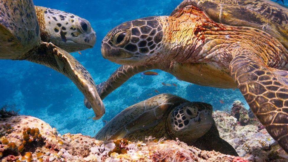 Turtles in Blue Planet II