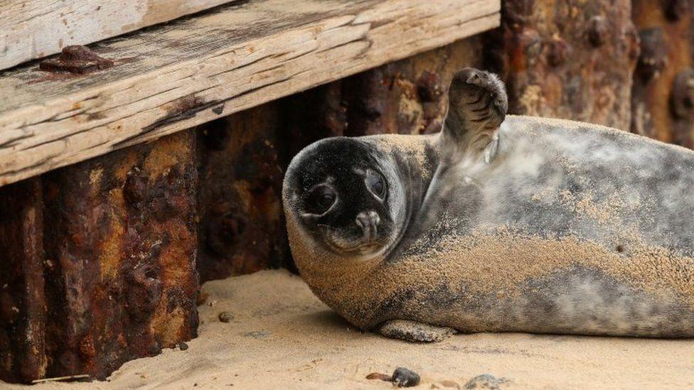 A grey seal pup on Horsey Gap beach in Norfolk