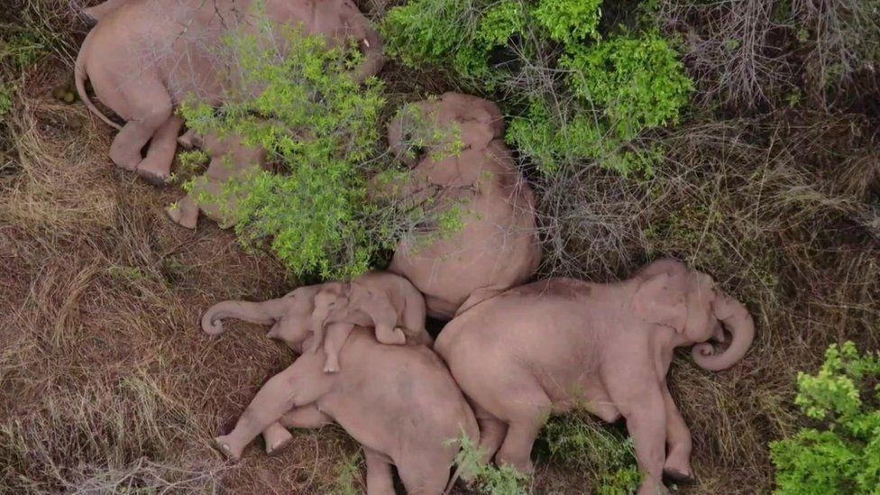 Sleeping elephants