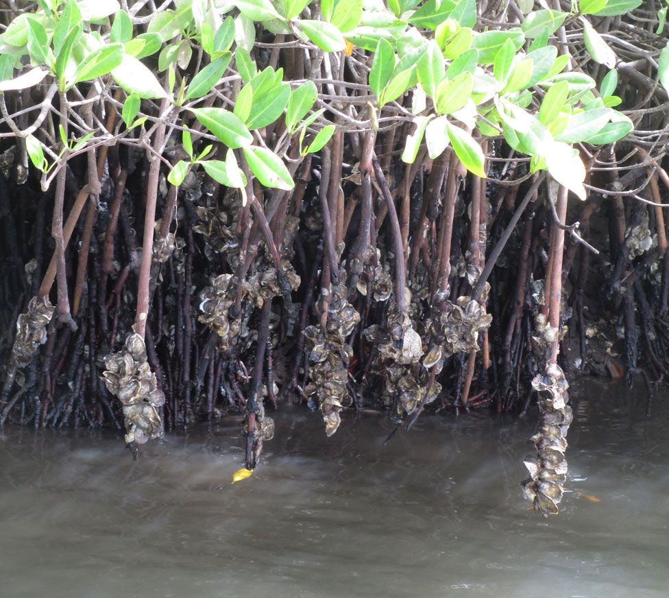 Oysters growing on mangrove roots