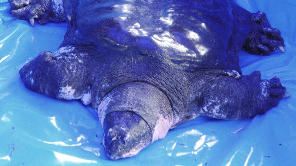 The male Yangtze giant softshell pictured lying on blue plastic wrapping