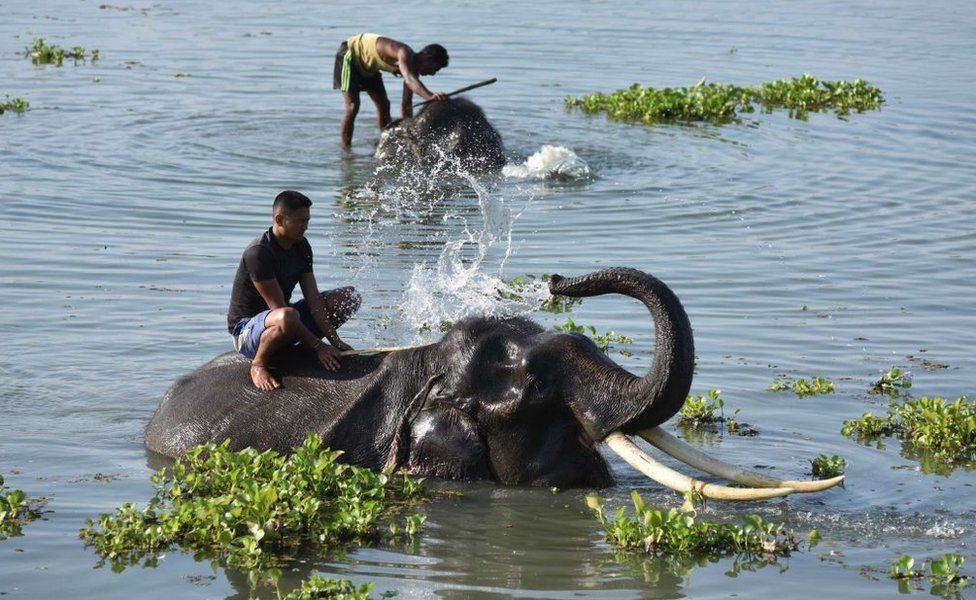 A mahout gives a bath to an elephant in a lake at Pobitora Wildlife Sanctuary on a hot summer day on June 05, 2018 in the Morigaon district, Assam, India.